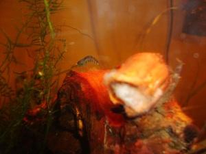 Orange Eyed Blue Tiger Shrimp on Mopani  Orange Eyed Blue Tiger Shrimp on Mopani