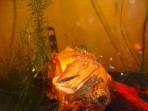 Orange Eyed Blue Tiger Shrimp on Mopani