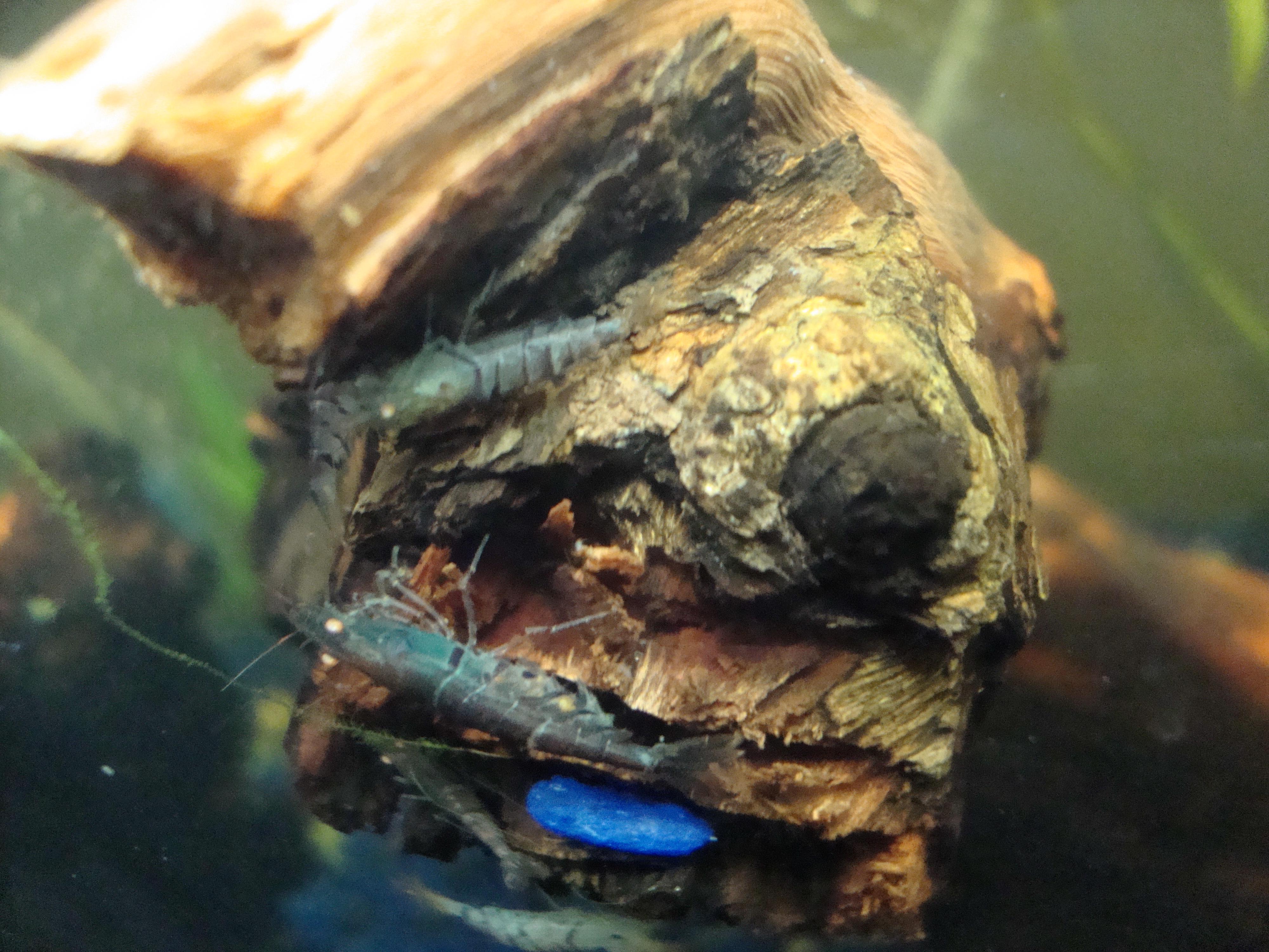 Orange Eyed Blue Tiger Shrimp Blog (OEBT) My experience with ...
